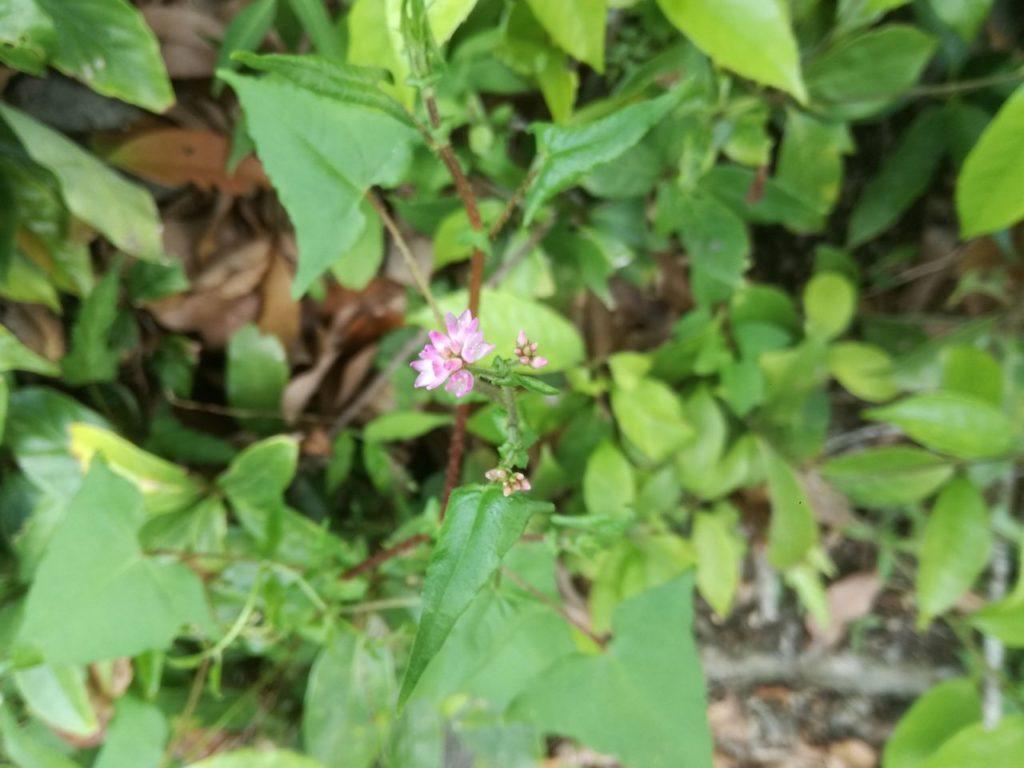 ピンク色の野草