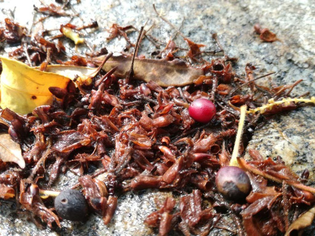 落ちている桜の実