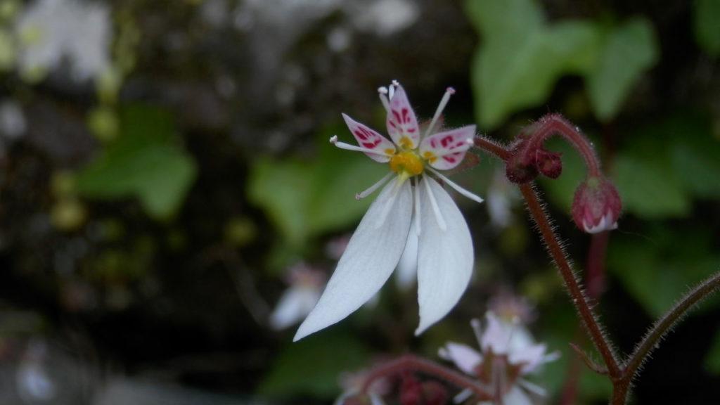 ユキノシタの花のアップ写真