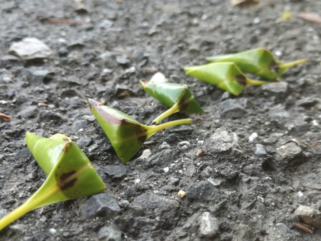 丸められた葉っぱ(オトシブミ)