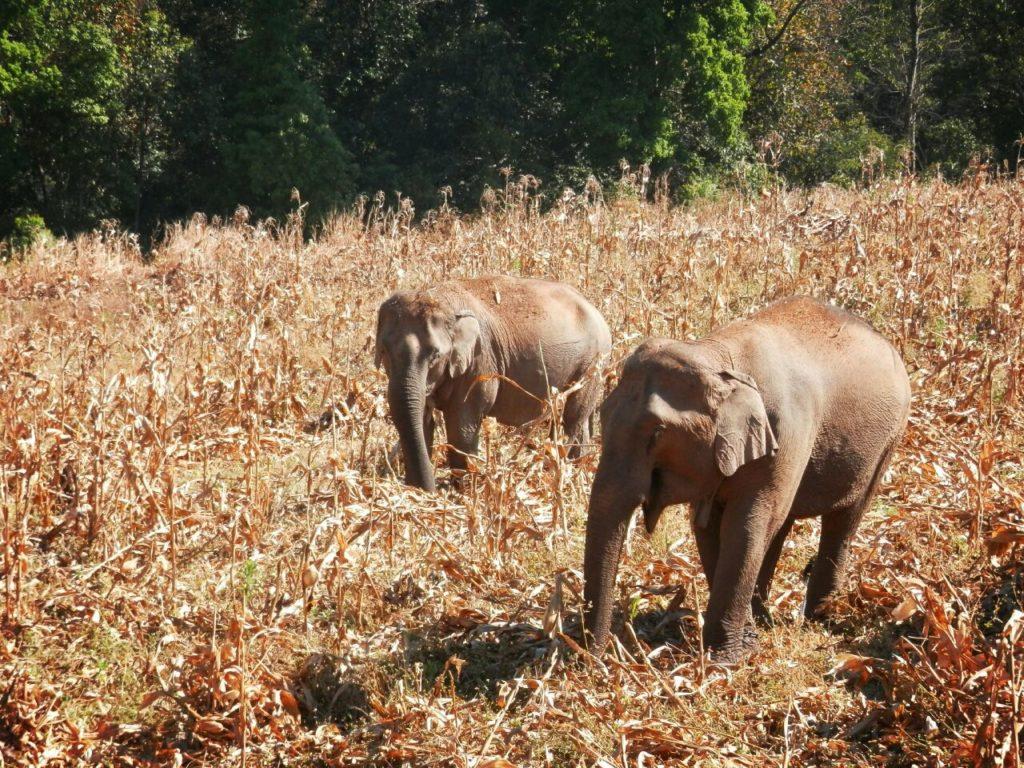 アジアゾウが2頭、草原で食事をする様子