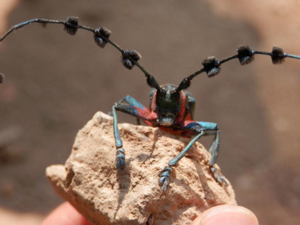 タイの美しい昆虫Diastocera wallichi tonkinensis