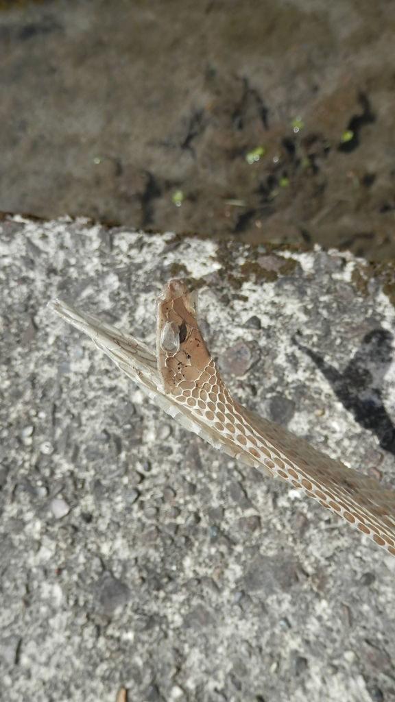 ヘビの抜け殻(顔部分)