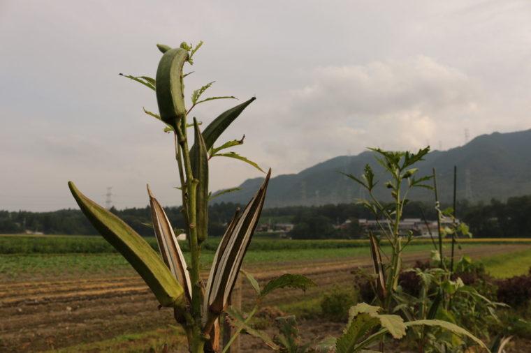 種取り用の大きなオクラ