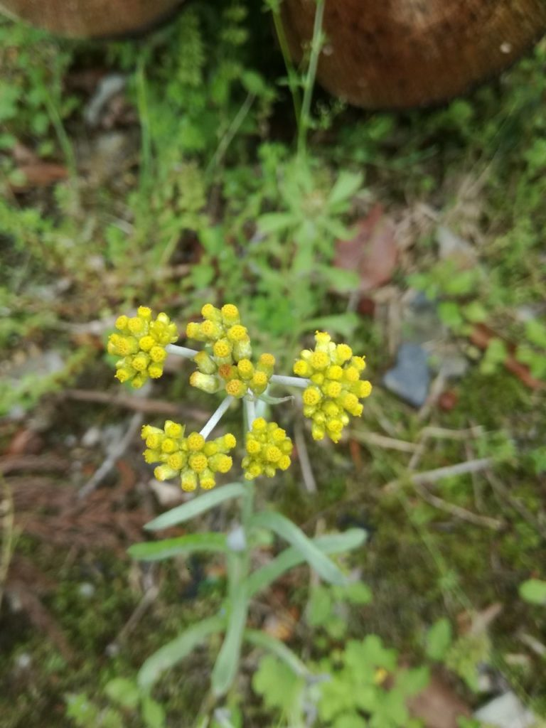 黄色い花の野草