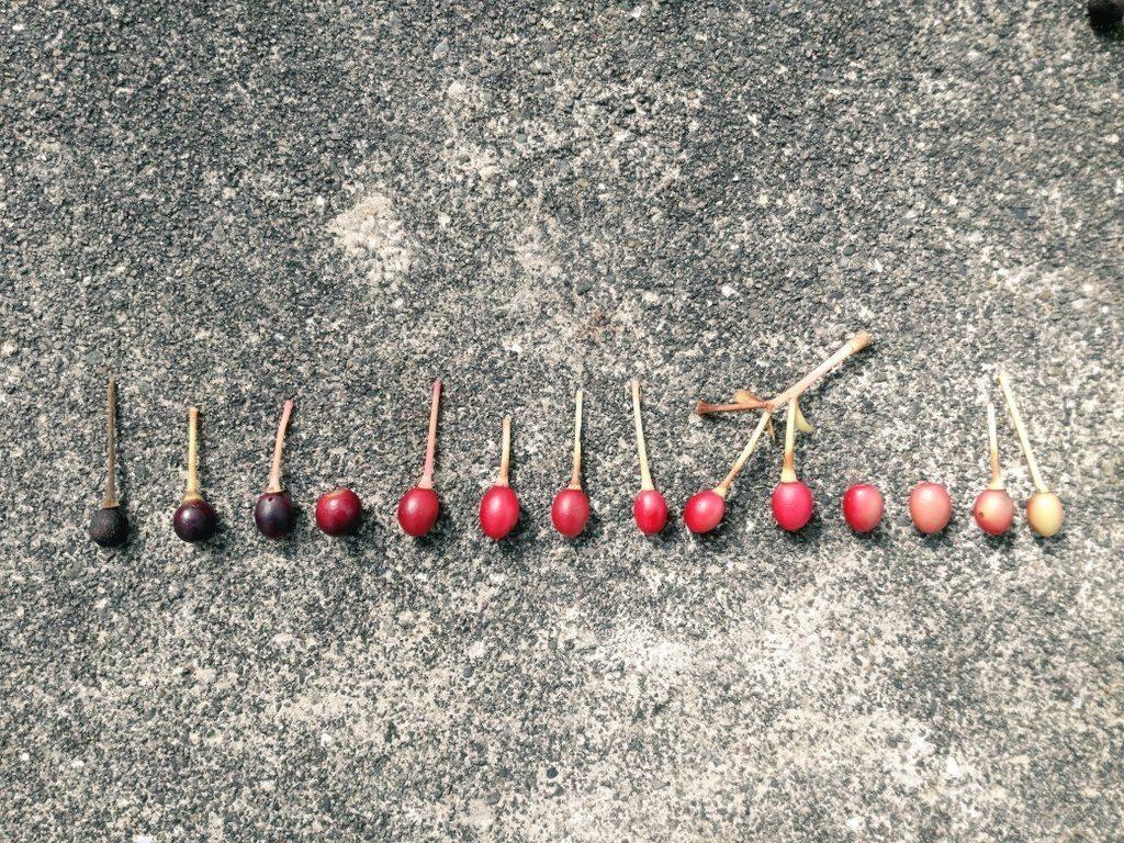 桜の実を並べてみた