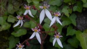 かわいいユキノシタの花