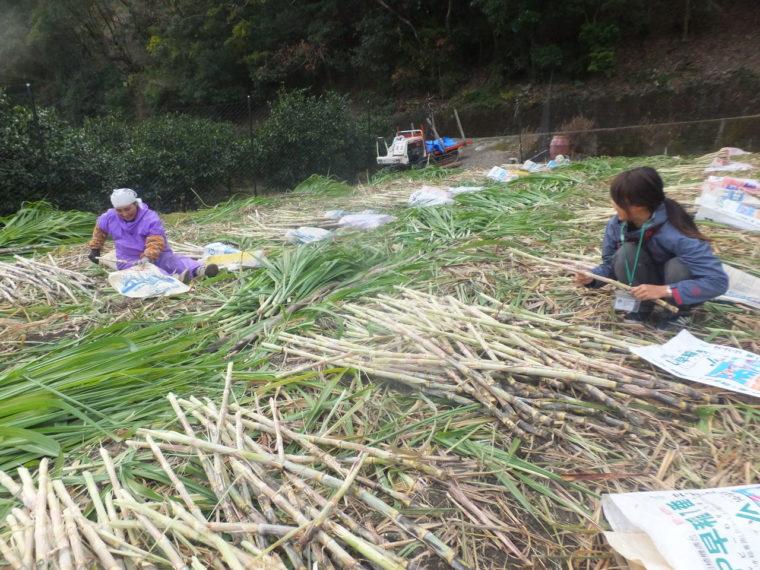 地域の人と一緒にサトウキビを収穫