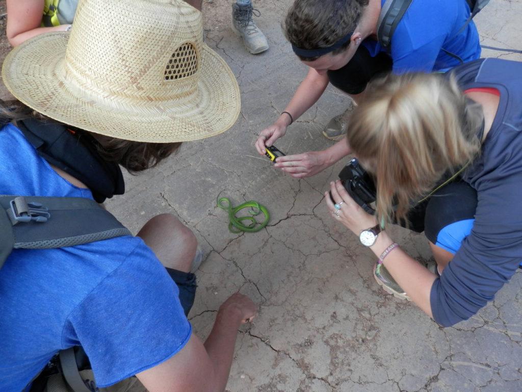 緑のヘビを観察するボランティア