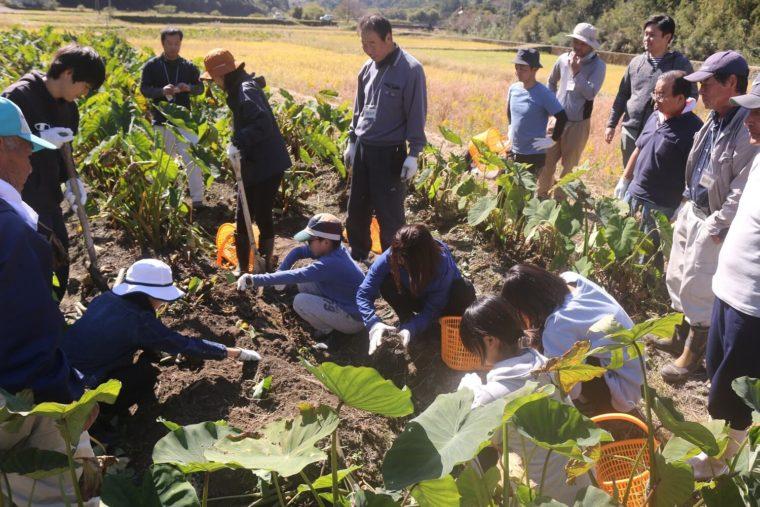 日南で田芋掘り体験